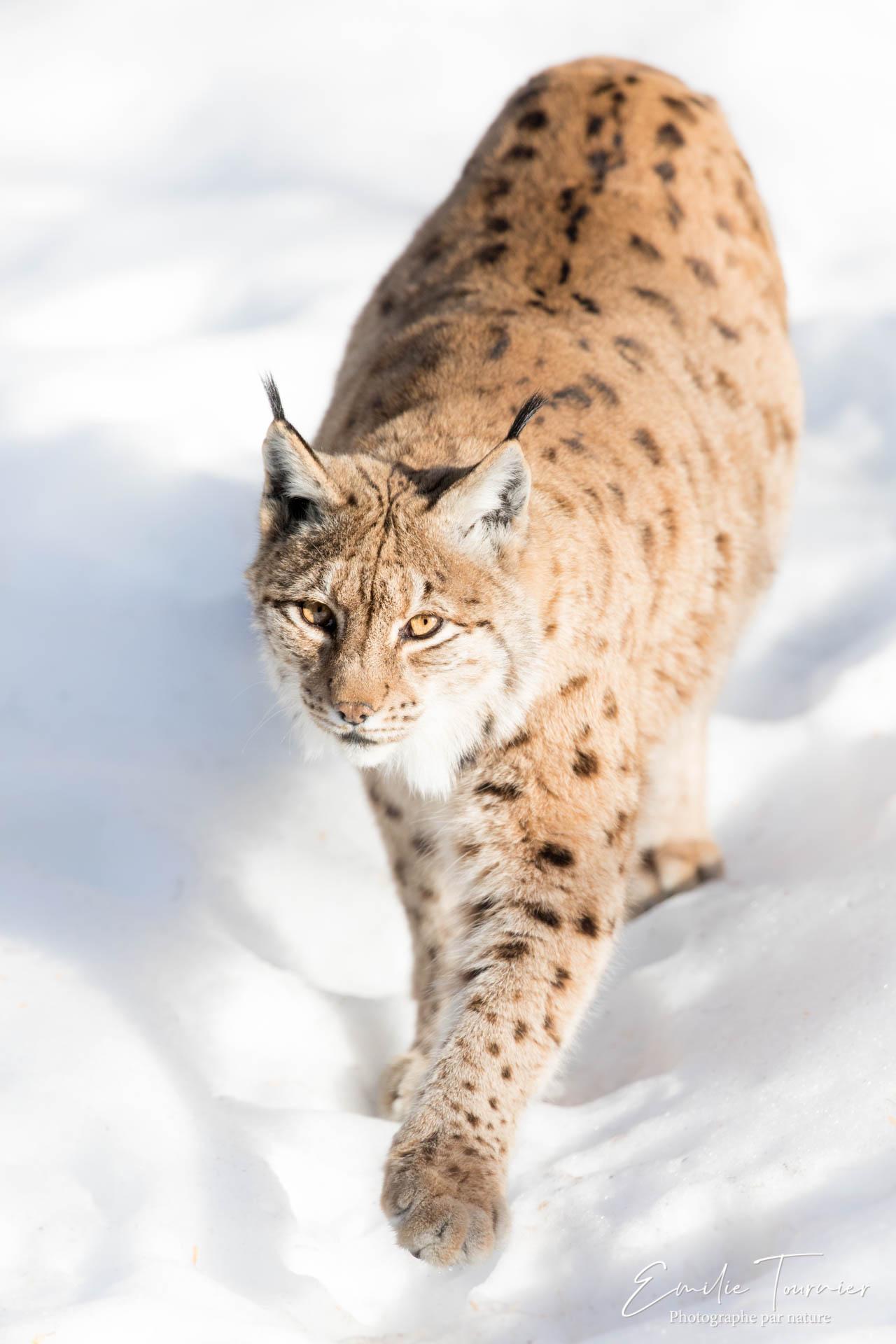 Lynx dans la neige