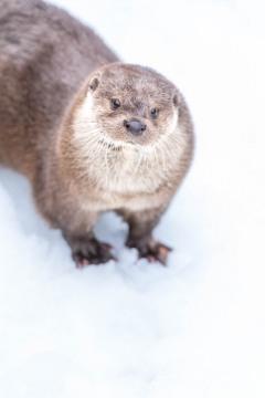 Loutre dans la neige
