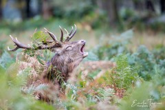 Brame du cerf à Richmond park