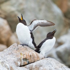 Duo de pingouins
