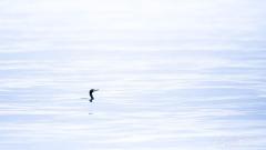 Cormoran dans sa mer de soie