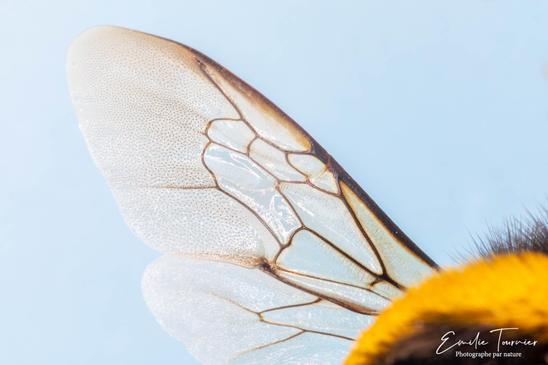 Dans l'aile d'un bourdon