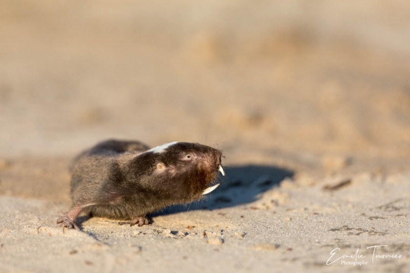 Rat-taupe