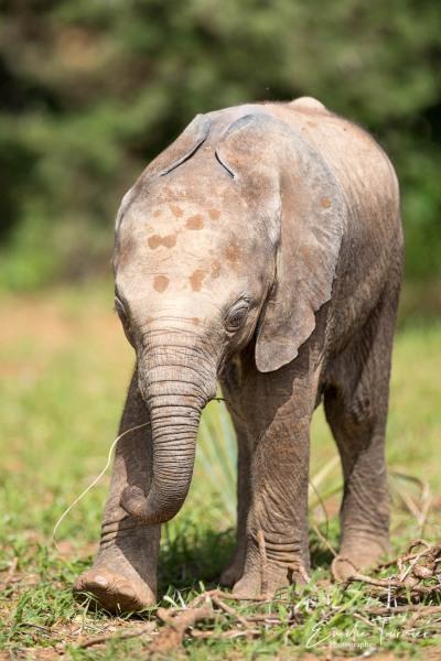 Eléphant de savane d'Afrique / Loxodonta africana / African bush elephant