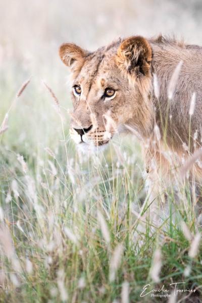 Douceur du jeune lion