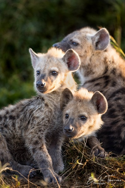 Méli-mélo de jeunes hyènes