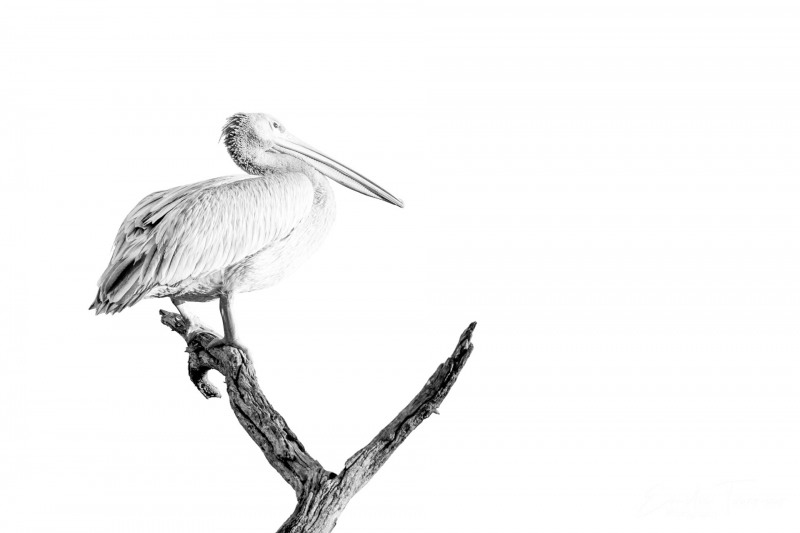 Pelican gris en noir & blanc 2
