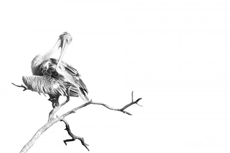 Pelican gris en noir & blanc 1
