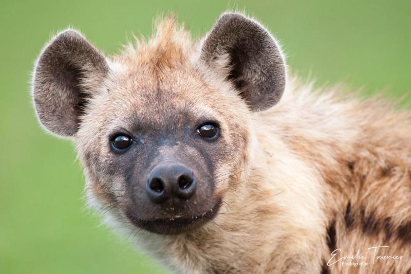 Gueule de hyène