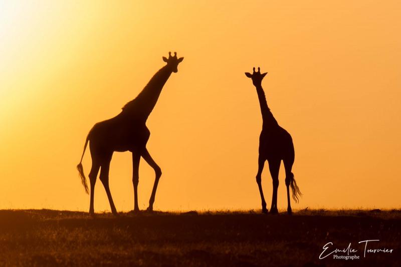 Girafes chinoises