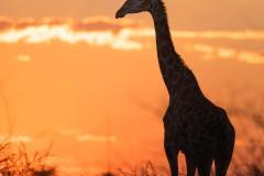 Girafe au coucher du soleil