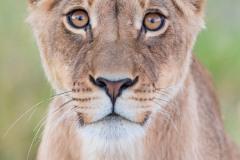 Amuse-gueule pour lion