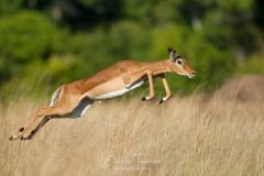 Bond d'Impala