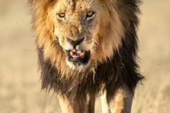 Le roi de la savane