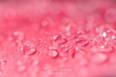 Rosée 1